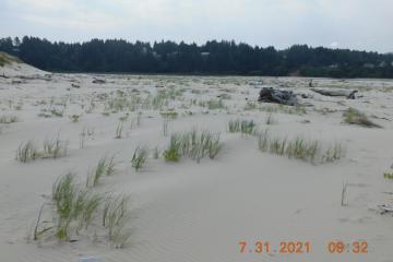 Introduced European Beach Grass spreading to beach sand