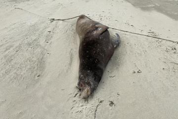 Beached Sea Lion