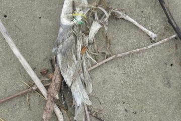 "Beached bird with green/yellow tags.  Exposed tarsus measured 4"".  A gull?"