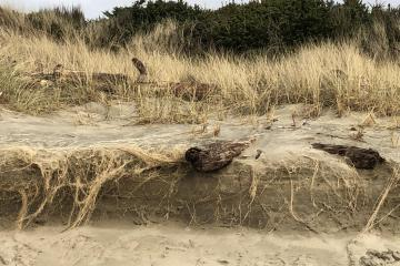 Sharp, three-foot vertical edge to the dunes, with giant log pitched over it