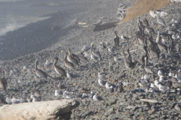 pelicans on Cove Beach shoreline