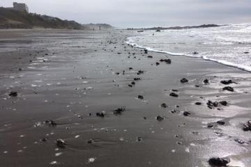 Concentration of mussels on beach