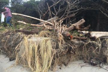 driftwood pushed into vegetation-King Tide