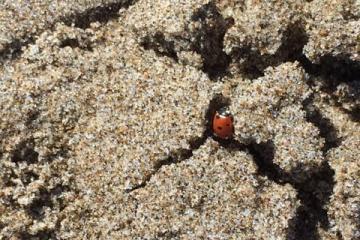 Ladybug on the beach