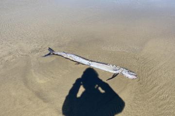 Lancetfish South Beach Oregon