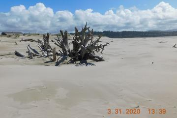 Landmark driftwood with new sand deposit