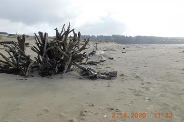 Landmark driftwood looking South to Plover habitat