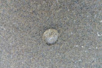 Sea Goosberry