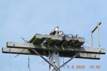 Ospreys atop nest platform, closeup