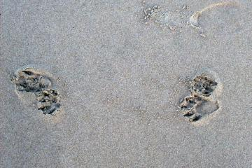 Maybe Raccoon tracks
