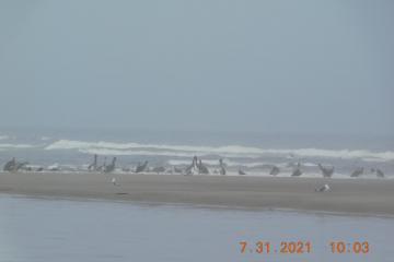 Pelicans and gulls, closer view