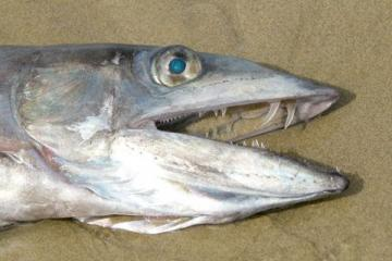 Closeup of the head of the longnose lancetfish that stranded on Nye Beach on 14 May 2008, showing its formidable teeth and gorgeous blue eyes.