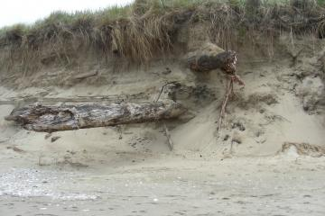 These logs have been eroded out of the foredune this previous winter.