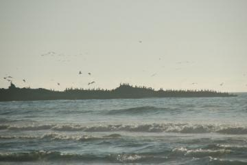 Hundreds of brown pelicans on the spit at the southern end of Bastendorff beach, Coos Bay. There were many more birds in the air mostly diving for fish. We have not seen this kind of activity before on Bastendorff beach.