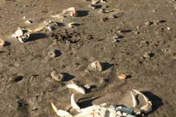 """Many small pieces of crab body parts, some shells as much as 5"""" across"""