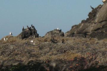 Cormorants and Gulls on  rocks off Heceta Head