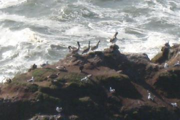 Pelican resting with seagulls on Heceta Head rocks.