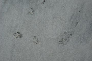 Footprints in the early morning sand may be those of a coyote making an early morning visit to the beach.