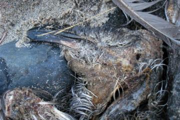 unidentified dead bird showing head and beak