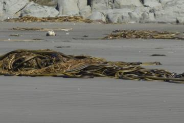Numerous large and small piles of Bull Kelp, Nereocystis luetkeana. Fairly typical for after the first storm of Fall.