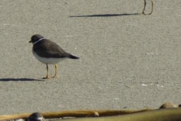 There was a gang of 7 of these, scavenging among the kelp. Note yellow legs -- Snowy Plover would have black or gray legs and be lighter tan.
