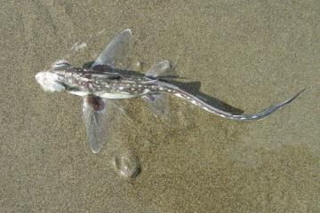 This shows the view looking down on the Spotted Ratfish.