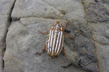 This beetle was found resting on a rock on the beach.  It eats confir needles.