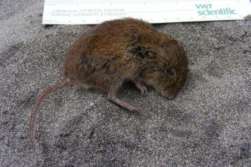 This small vole was found dead on the beach.  It is listed as a near threatened species according to the Smithsonian National Museum of Natural History website on North American Mammals.