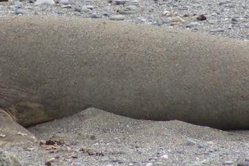 Northern Elephant Seal resting in the warm sand on the beach.