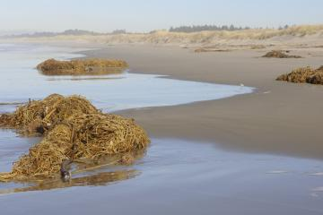 Several piles of Bull Kelp littered most of the mile.  Piles were up to 2.5 feet high