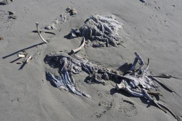 Likely a sea lion, back skin down, ribs exposed upward.  Remains about 4-5 feet long. Longest remaining rib bone was about 15-18 inches long.  Large backbones were scattered in vicinity.