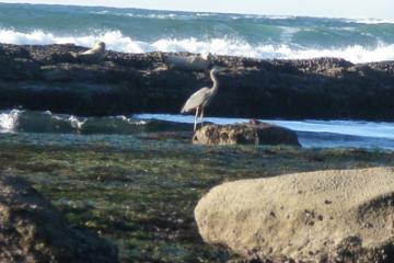 Blue Heron and Seals at Marine Gardens