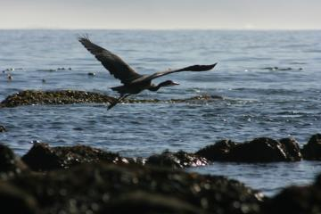 GBH flies out to sea from South Cove, Cape Arago