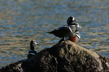 3 adult male Harlequins in breeding plumage, sunning on rock in South Cove, Cape Arago