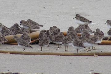 Today there were many small flocks like this of Semipalmated Sandpipers.