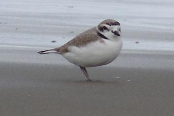 This bird has dark markings and is unbanded.  We wonder if it is a visitor rather than a resident?