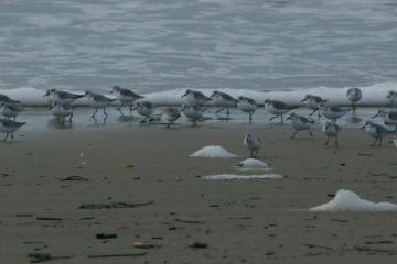 A group of sanderlings feeding along the beach