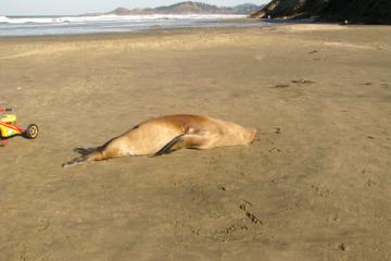 Dead Steller sea lion stranded on Nye Beach. No obvious external injuries.