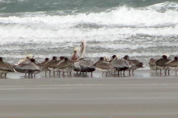 Brown pelicans have been numerous along the Oregon coast this fall; no one seems to know why.  Here is a flock hunkered down on the beach in rough weather.