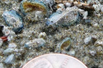 Macro shot of very small Velella. Foreground is a penny.