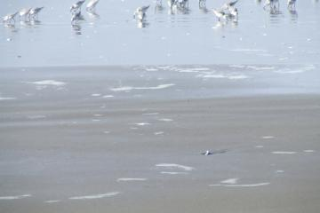 sandpipers are the only abundant wildlife observed