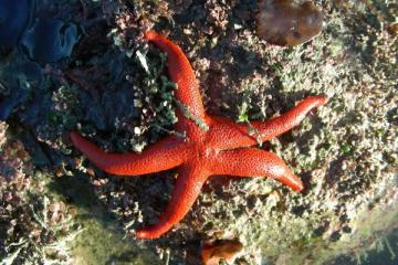 This sea star is found on protect tidal rocks with its prey, sponges.
