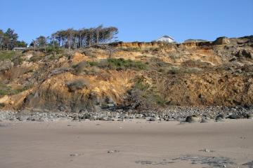 Shore Pine on beach