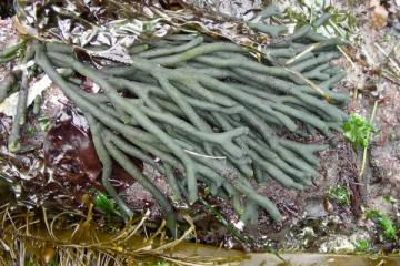 This green alga feels spongy to touch and is often washed up at South Cove Beach, Cape Arago and other rocky shores.