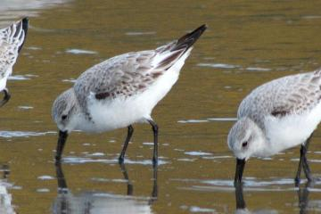 Sanderlings searching for sand crabs and worms, as a wave recedes. These three were in a flock of 134.