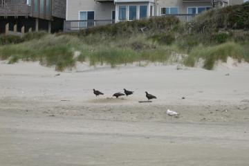 vultures feasting.  Photo shows how high up on beach octopus is located (half buried).