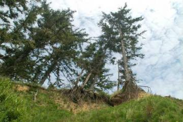 Shows how the trees on the rim of the Cape Arago Middle Cove are being undermined. Next picture shows a tree fallen recently.