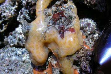 "Aplidium solidum,a cream colored tunicate with light brown spots.  The common name is ""Red Tunicate"" but the colors can range from red to almost white."