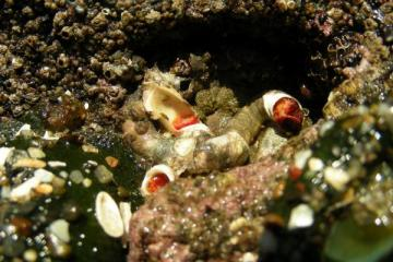 Red Tube Worms, Serpula vermicularis, has bright red gills that are retracted in this picture.  When the animal dies, these tubes often end up in the driftline.