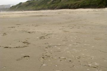 Stranded jelly (possibly Aequorea forskalea) on Nye Beach